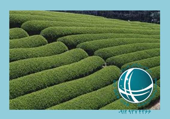 واردات چای ، فرهنگ چای در چین ،واردات چای از چین ،انواع چای سبز و سیاه وارداتی ،مزارع چای در چین ،مزارع چای ،ترخیص چای ،چای وارداتی