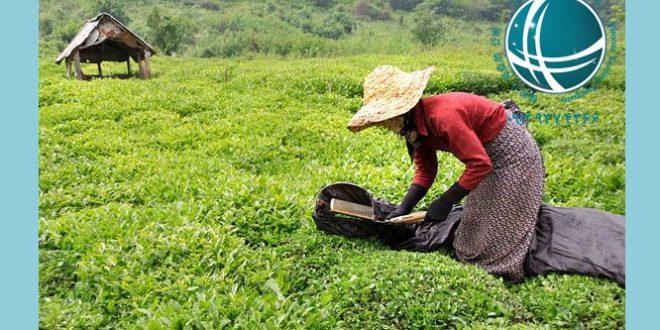 واردات و ترخیص چای ، فرهنگ چای در چین ،واردات چای ، فرهنگ چای در چین ،واردات چای از چین ،انواع چای سبز و سیاه وارداتی ،مزارع چای در چین ،مزارع چای ،ترخیص چای ،چای وارداتی