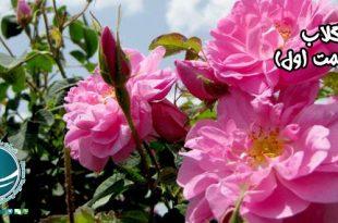 گلاب گرانترین اسانس دنیا,گلاب,گلاب گرانترین اسانس دنیا,گل محمدی,عصاره گل محمدی,اسانس گل سرخ,معروفترین عرقیات,تاریخچه گلابگیری,گلاب میمند,گلاب ایران,مرکز تولید گلاب,معروف ترین گلاب,خواستگاه اصلی تولید گلاب,گلاب کاشان,گلاب قمصر,بزرگترین تولید کننده گلاب دنیا, فواید مصرفگلاب,طرز تهیه گلاب,آیین گلاب گیری,مراسم گلاب گیری,گلاب دو آتشه,مواد اصلی تشکیل دهنده اسانس گل محمدی,